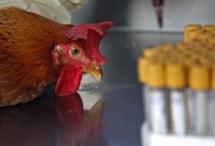 птичий грипп, птичий грипп и человек, курица, Россельхознадзор