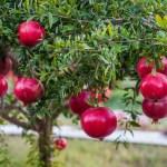 Крым, центр для работы с субтропическими растениями, экзотические фрукты, селекция