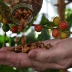 Coffea stenophylla, Африка, кофе, исследования,