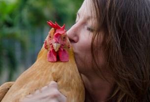 домашняя курица, сальмонелла, целоваться с курицей