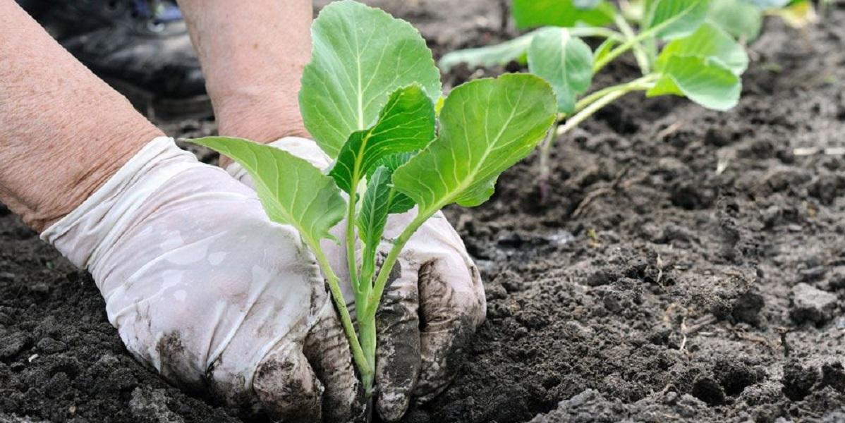 Камчатка, исправительные учреждения, посевная кампания, поля, капуста, картофель