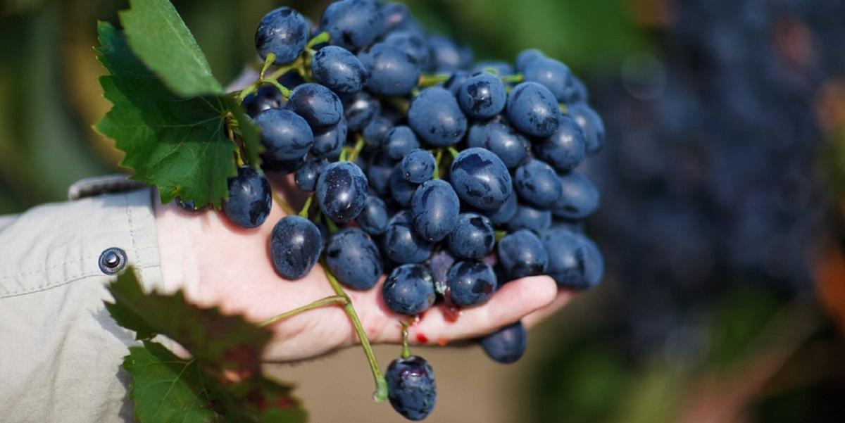 Исследование, виноград, генетика, испанские сорта винограда, «Красностоп Золотовский», Михаил Ковальчук