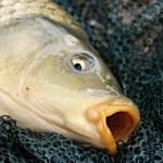 НЦБРП, болезнь Хаффа, отравление рыбой, непонятный токсин