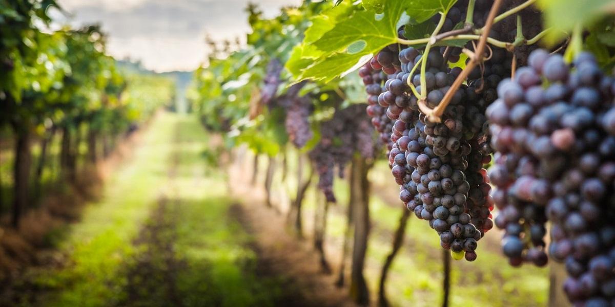 земля для винограда, вино, виноградарство, Краснодарский край