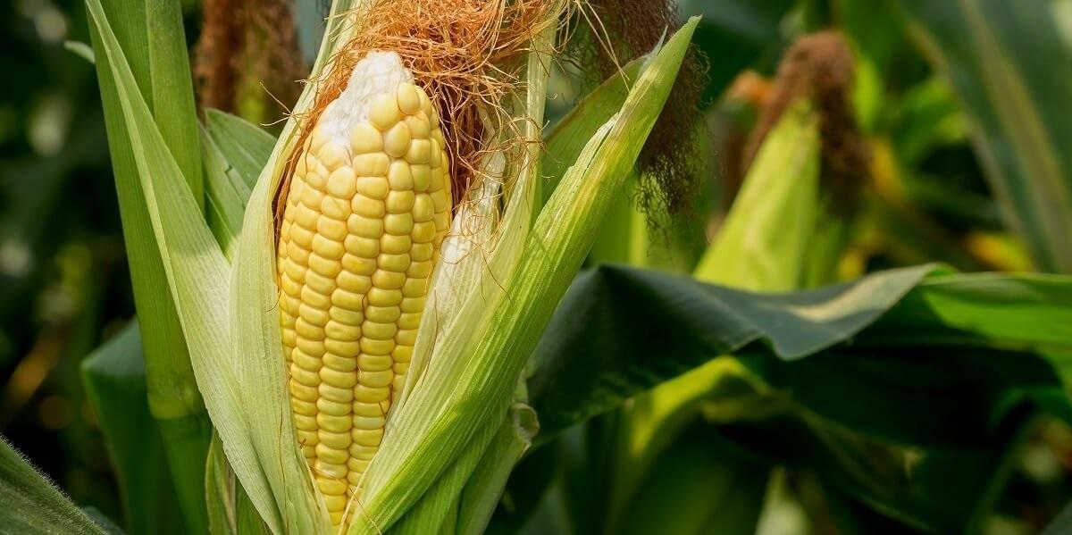 ГМО-кукуруза, запрещенное ГМО