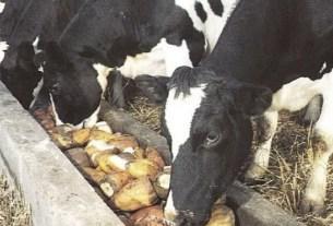Сухой картофельный порошок, рацион коров, альтернатива кукурузе, корма, Пакистан