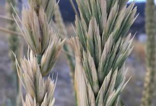 Пшеница, селекция, нитрификация, гены волоснеца кистистого
