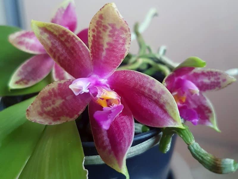 Phalaenopsis Primärhybride