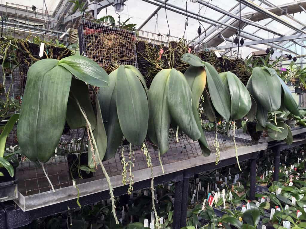 Phalaenopsis gigantea Gärtnerei