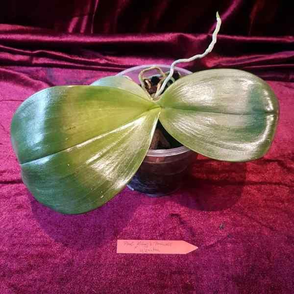 Phalaenopsis Giant Princess