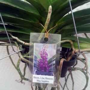 """Rhynchocentrum Lilac Blossom """"Blue Sapphire"""""""