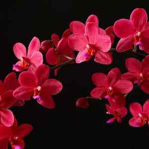 Phalaenopsis Buddha's Treasure