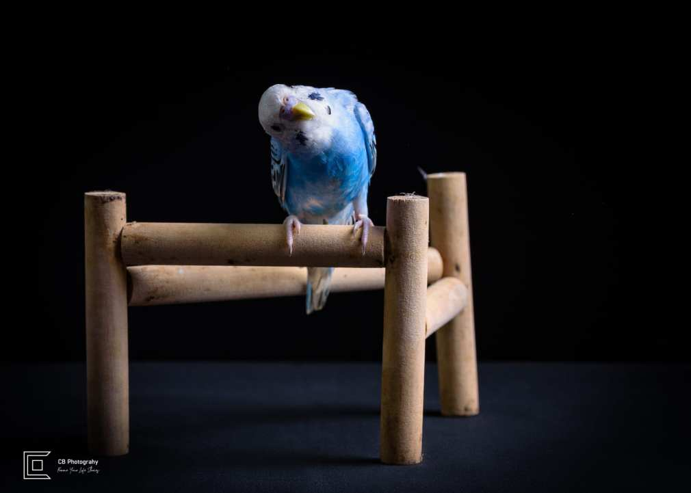 Pet photographer in Tokyo: Blue tinted Parrot-Budgerigar, image taken in a photo studio by Cristian Bucur