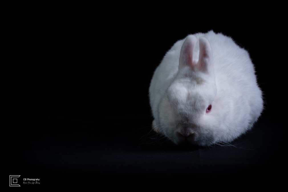 Pet photographer in Tokyo: white rabbit image in a photo studio