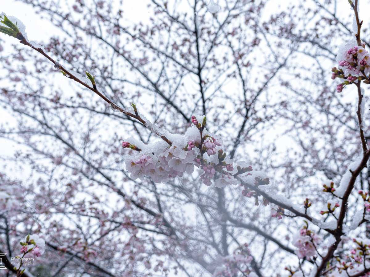 Cherry flowers in full bloom covered with snow; image by Cristian Bucur Photographer in Tokyo
