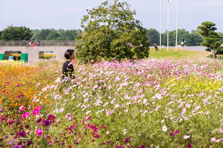 Cosmos flowers at Hitachi Seaside Park in Ibaraki Prefecture.