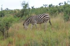Safári em Pilanesberg. África do Sul