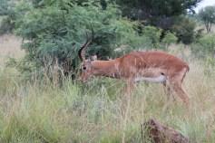Turismo. Safári na África do Sul. Pilensberg. impalas
