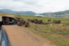 Turismo. Safári na África do Sul. Pilensberg. Búfalos