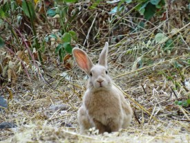 Curious cottontail at Lew Howard Park, Folsom