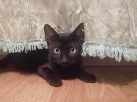pisică neagră