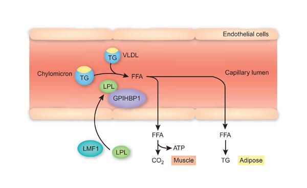 LPL - ליפופרוטאין lipase