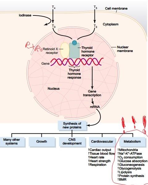 רמות הורמון בלוטת תריס ותזונה נמוכות מאוד פחמימות (קטוגנית)