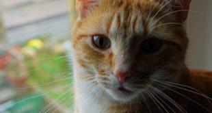 Gatos, susceptibles a contagiarse de Covid-19, dicen investigadores