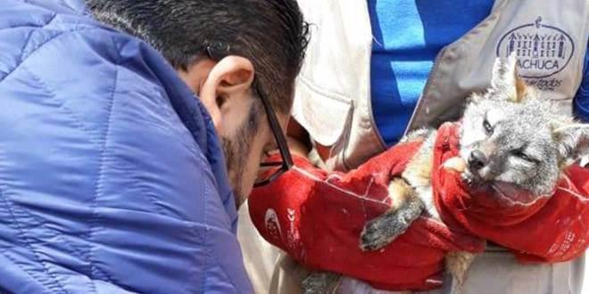 Liberan a zorro gris y mapache rehabilitados en unidad de rescate de Pachuca