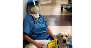 Ayudan perros de asistencia a médicos por coronavirus