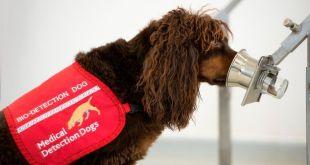 ¿Pueden los perros detectar el covid-19? Investigadores los entrenan