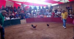 Realizan torneo de gallos en Cuautepec pese a fase 3