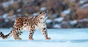 Luego de varios años, logran fotografían del leopardo de las nieves