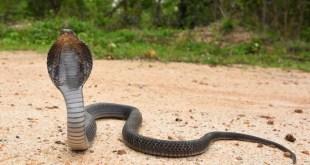 Un hombre acusado en India de haber matado a su esposa con una cobra