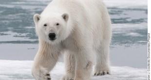 Osos polares podrían extinguirse este siglo, revelan en estudio
