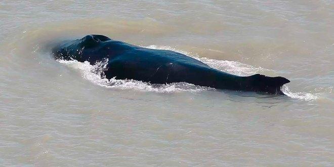 Ballenas jorobadas deambulan río infestado cocodrilos