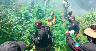 Incineran 700 plantas marihuana San Agustín Tlaxiaca