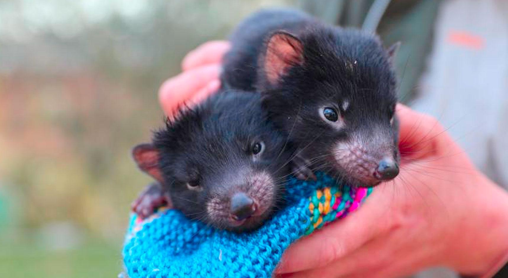 Tras 3 mil años, nacen demonios de Tasmania de manera natural