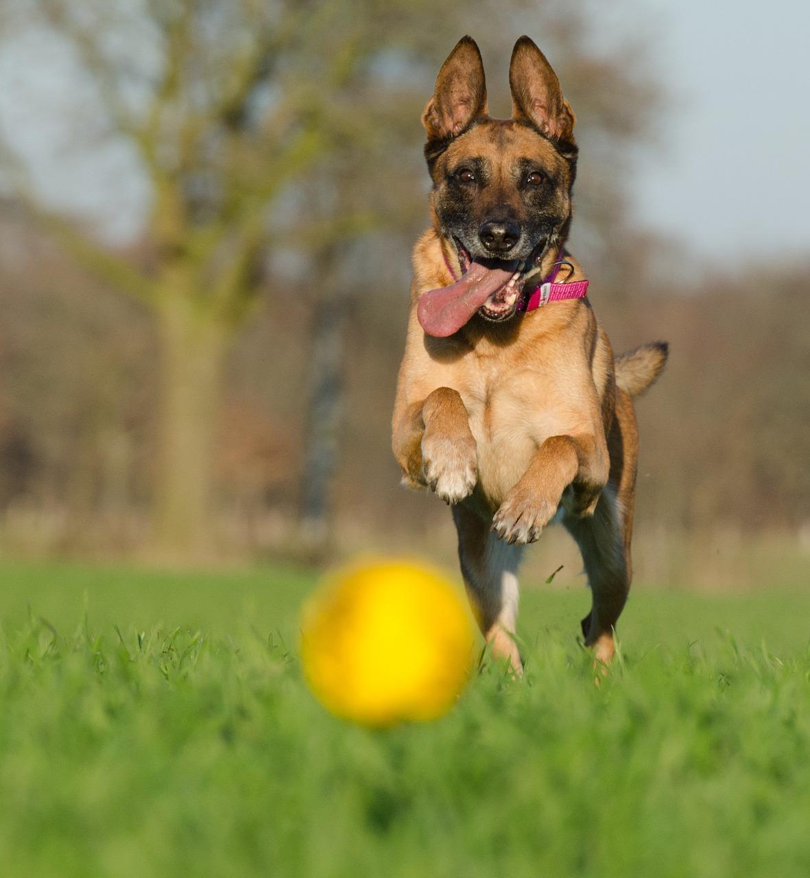 Malinois Shepherd Dogs playing running field ball