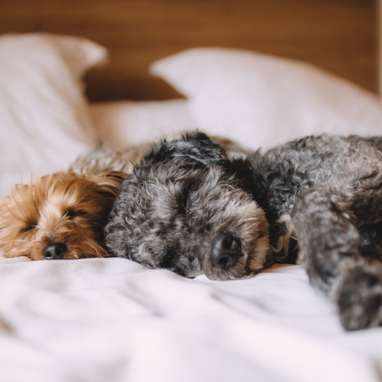dogs sleeping beds Critter Caretakers Pet Services How Do I Know if My Tempe Pet Sitter is at Their Visits?