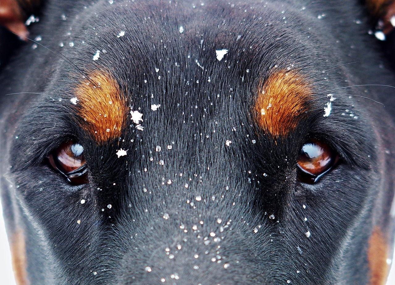 eyes doberman dog snow Critter Caretakers Pet Services The Importance Of A Pet Sitter Who Can Read A Dog's Body Language