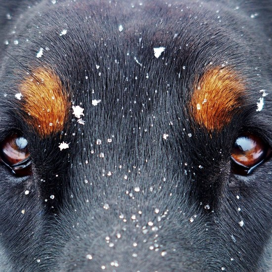eyes doberman dog snow Critter Caretakers Pet Services A Day in the Life of a Pet Sitter in Tempe