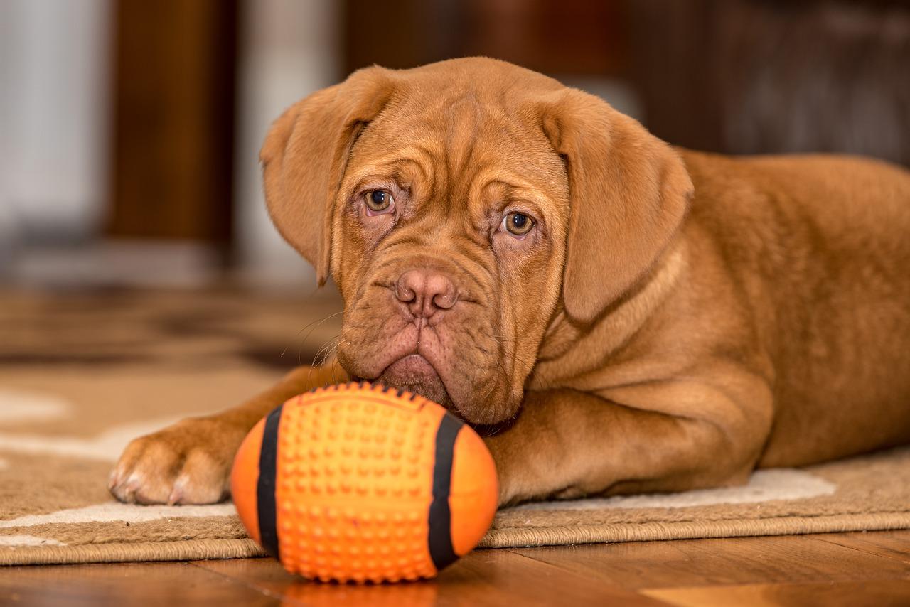 dogue de bordeaux happy dog Critter Caretakers Pet Services Why Hire A Dog Walking Professional In Mesa?
