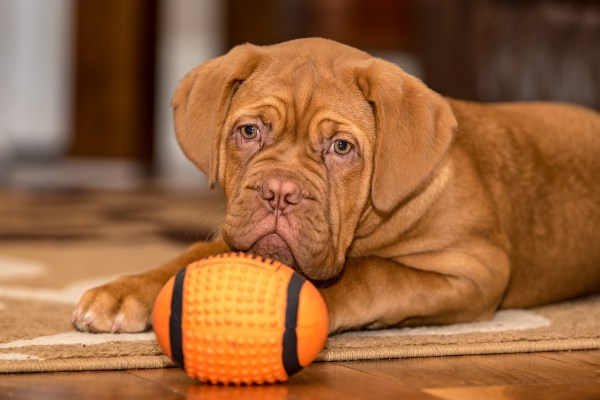 dogue de bordeaux happy dog Critter Caretakers Pet Services Why Hire A Dog Walking Professional In Mesa?