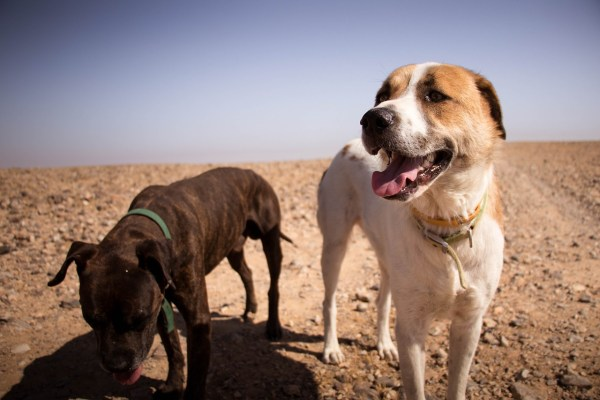 dogs sun desert walking Critter Caretakers Pet Services Dog Walking In Arizona – Not Like Other Places