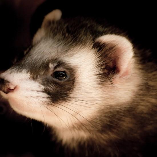 ferret black white Critter Caretakers Pet Services Top 15 Worst Dog Foods