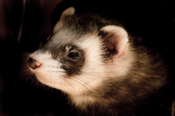 ferret black white Critter Caretakers Pet Services What Kinds Of Pets Do We Pet Sit For?