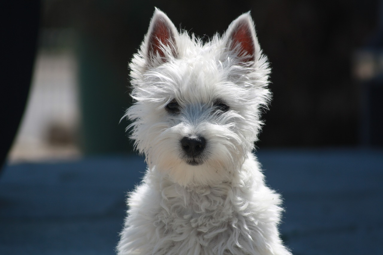 west highland terrier dog white Critter Caretakers Pet Services Gilbert Pet Sitter Saves the Day