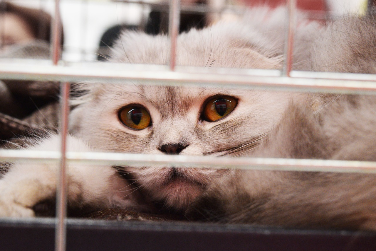 anxious cat Critter Caretakers Pet Services Cat Separation Anxiety: What Can I Do For My Anxious Feline?