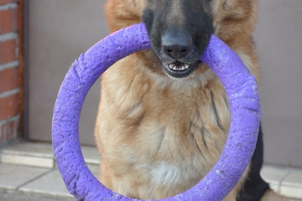 dog training shepherd purple ring alsation Critter Caretakers Pet Services Chandler Dog Sitters Most Important Blog